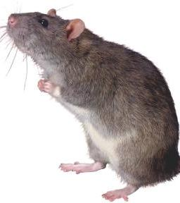 The Abuja rat says his Rat President's life has been put in extreme danger...what a rat!!!