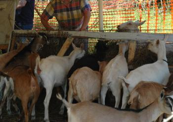 Could this be Frank Timis feeding the goats in Parliament?